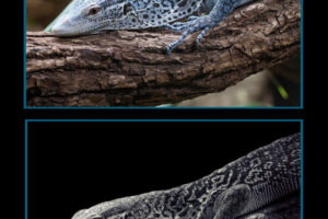 F_Horner_B&W wildlife 02_Blue Tree Monitor Lizard - before and after editing
